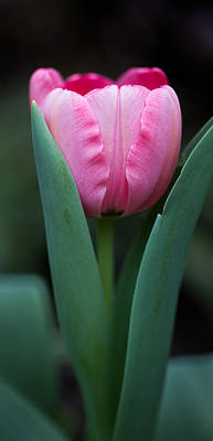 Photograph - Pink Tulip Panoramic by Dale Kincaid
