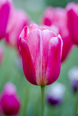 Photograph - Pink Tulip Stems by Teri Virbickis