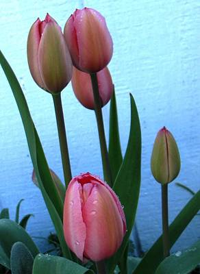 Pink Tulips 2012 Art Print