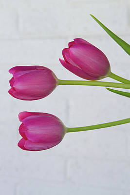 Photograph - Pink Tulips And White Brick Wall by James BO Insogna