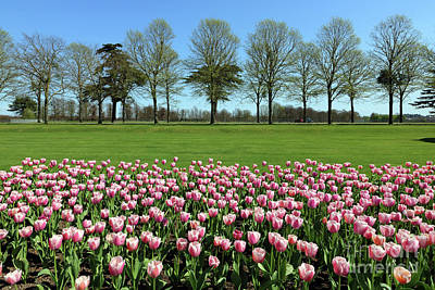 Photograph - Pink Tulips At Hampton Court by Julia Gavin