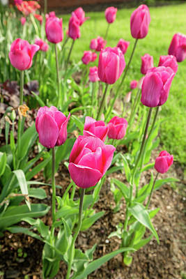 Photograph - Pink Tulips - Belknap Mill by Robert Clifford