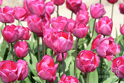 Photograph - Pink Tulips From The Netherlands by Patricia Hofmeester