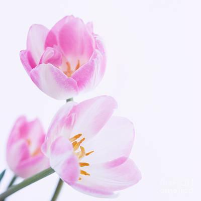 Pink Tulips Art Print by Hideaki Sakurai