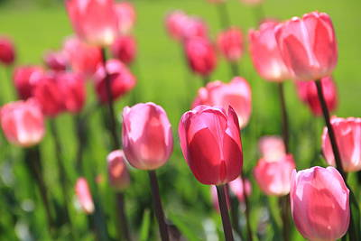 Photograph - Pink Tulips by Angela Murdock