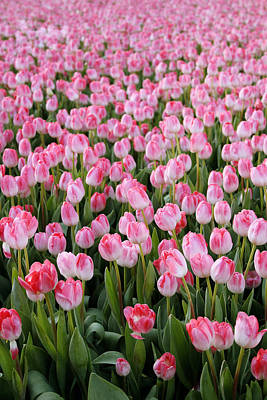 Fields Of Flowers Photograph - Pink Tulips- Photograph by Linda Woods