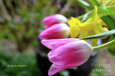 Pink Tulips Row Art Print