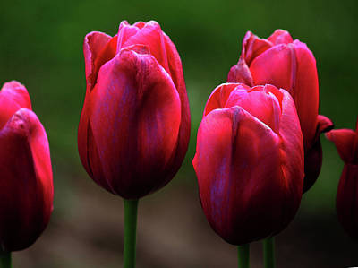 Photograph - Pink Tulips by Rowana Ray