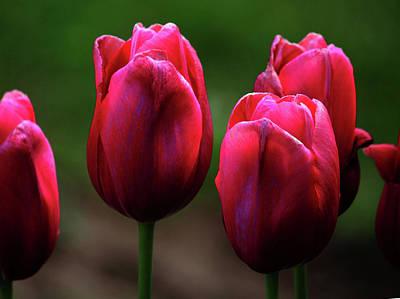 Photograph - Pink Tulips by Rowana Ray