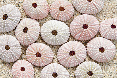 Pink Urchin Shells Art Print by Brandon Tabiolo