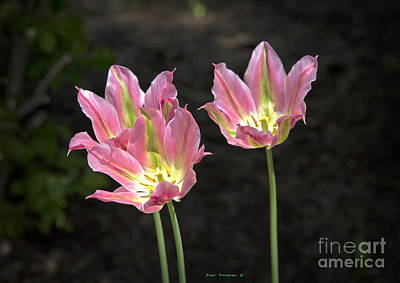 Photograph - Pink Viridiflora Tulips by John Stephens