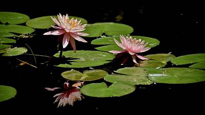Photograph - Pink Water Lillies by Carol Bradley