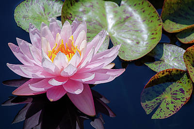 Photograph - Pink Water Lily Bloom by Julie Palencia