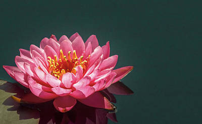 Pink Water Lily  Art Print