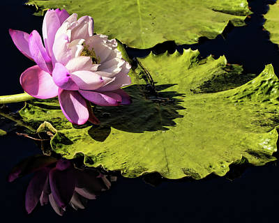 Photograph - Pink Water Lily Reflection by Judy Vincent