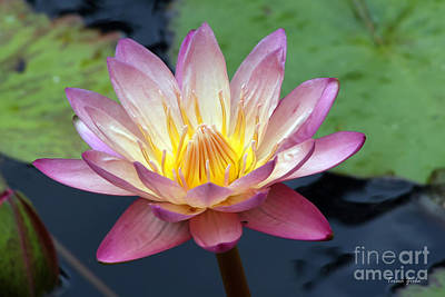 Waterlily Photograph - Pink Water Lily by Teresa Zieba