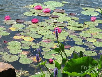 Photograph - Pink Waterlilies by Kathie Chicoine