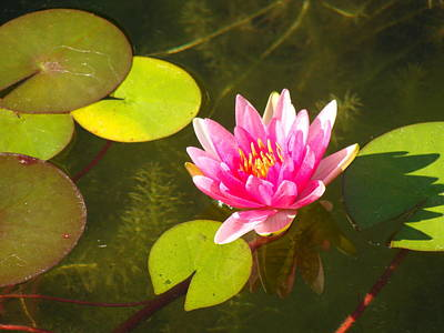 Mixed Media - Pink Waterlily by Anthony Seeker