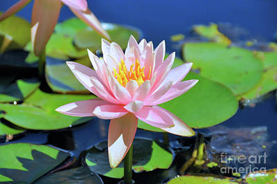 Photograph - Pink Waterlily by Elaine Manley