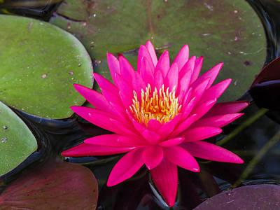 Photograph - Pink Waterlily Garden by Paula Ponath