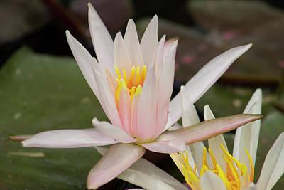 Pink Waterlily Original