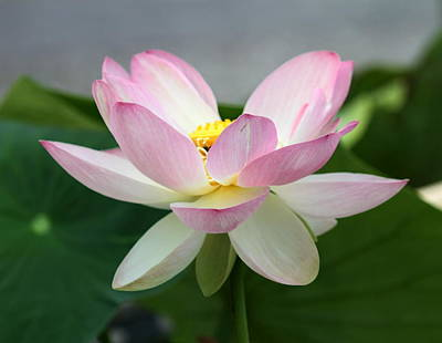 Photograph - Pink Waterlily Or Lotus Flower by Elenarts - Elena Duvernay photo