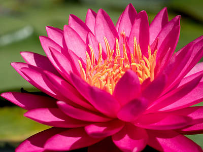 Photograph - Pink Waterlily by Paula Ponath