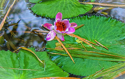 Photograph - Pink Waterlily Study by Venetia Featherstone-Witty