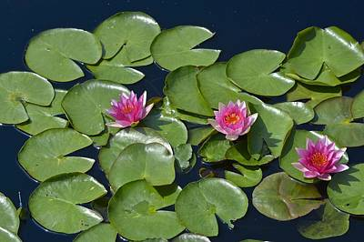 Photograph - Pink Waterlily Trio by Tana Reiff