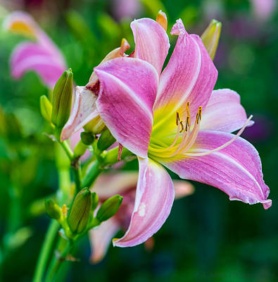 Photograph - Pink White And Yellow Day Lily by Andrew Miles