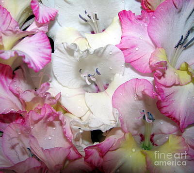 Photograph - Pink White And Yellow Gladioli Flowers by Rose Santuci-Sofranko