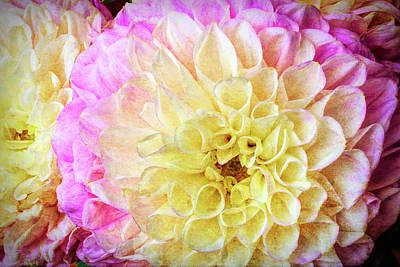 Pink White Dahlias Art Print by Garry Gay