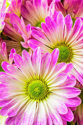Pom Pom Photograph - Pink White Poms by Garry Gay