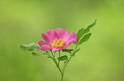 Photograph - Pink Wild Rose by Debbie Oppermann