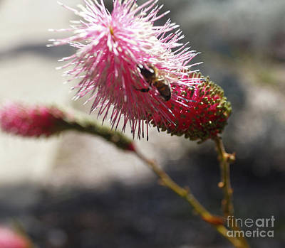 Australian Bees Photograph - Pink Wildflower And Bee by Cassandra Buckley