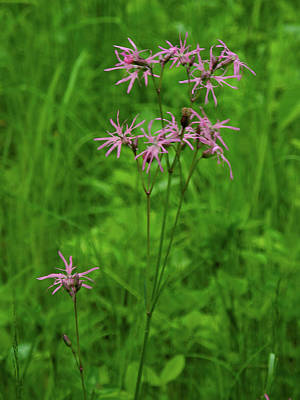 Photograph - Pink Wildflowers 3 by Raymond Salani III