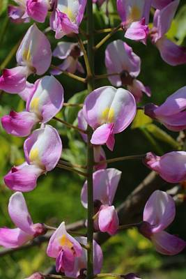 Photograph - Pink Wisteria Closeup by Kathryn Meyer