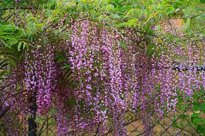 Photograph - Pink Wisteria Clusters by Kathryn Meyer
