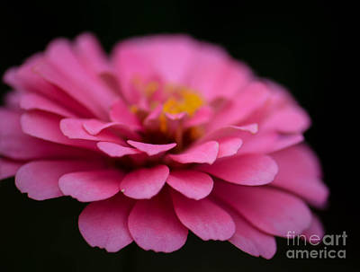 Photograph - Pink Zinnia by Amy Porter