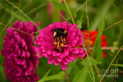 Photograph - Pink Zinnia And Bee by Mark McReynolds