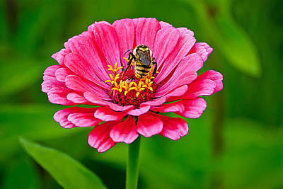 Wildflower Photograph - Pink Zinnia Bee by Emerald Studio Photography
