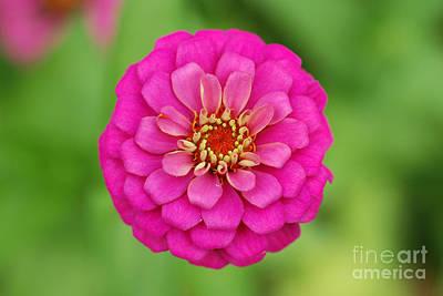 Annual Plant Photograph - Pink Zinnia Flower by John Kaprielian