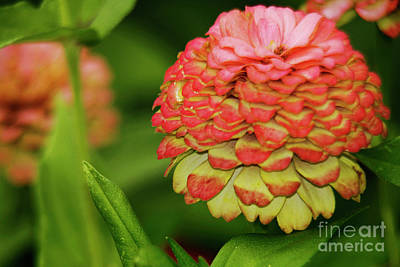 Photograph - Pink Flower Zinnia Wall Art Decor Print by Carol F Austin