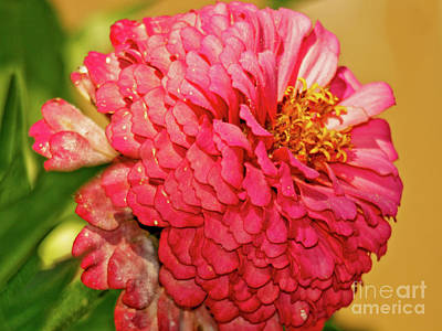 Photograph - Pink Zinnia Fresh From The Garden by Carol F Austin