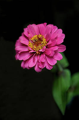 Photograph - Pink Zinnia by Nancy Kirkpatrick