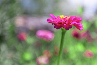 Photograph - Pink Zinnia by Steven Green