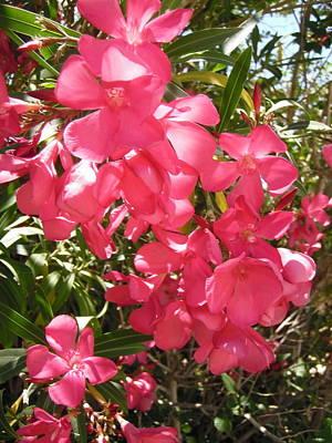 Photograph - Pinker Oleanders by Stephanie Moore