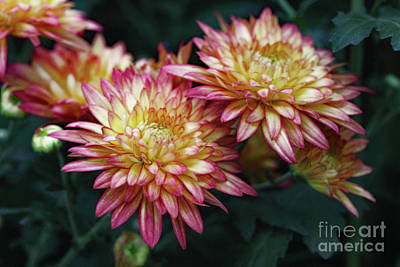 Photograph - Pinkie Yellow by Mary Haber
