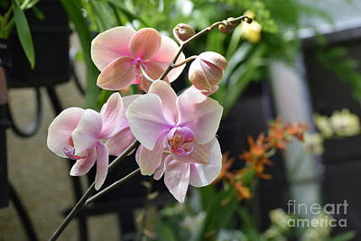 Photograph - Pinkish Orchids by Jeannie Rhode