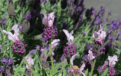 Photograph - Pinkish Purple Spanish Lavender by Carla Parris